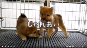 九州の大分豆柴犬牧場の子犬紹介動画のイメージj画像とリンク
